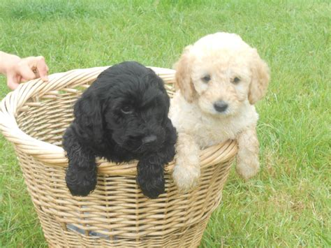 cockapoo puppies indiana 48 cockapoo puppy pictures