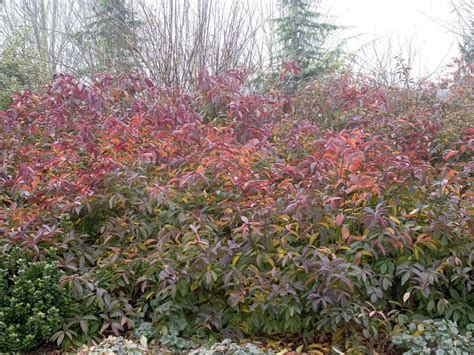 fall foliage plants plants with fall interest keep the color coming diy