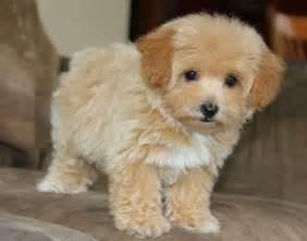 micro teacup poodle lifespan grown teacup maltipoo for the of animals