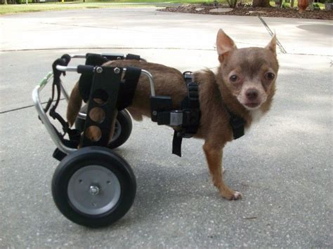 wheelchairs for dogs 53 best images about wheelchairs on for dogs pit bull terriers and