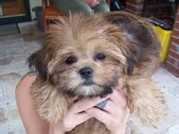 shih tzu yorkie mix expectancy best 25 yorkie shih tzu mix ideas only on puppy shichon puppies for
