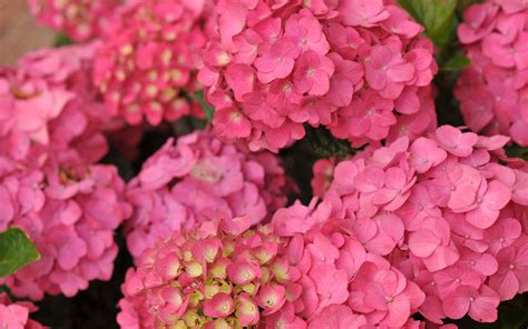 wallpaper flower hydrangea hydrangea wallpaper 1377538