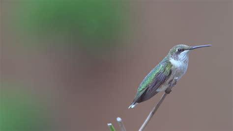 female ruby throated hummingbird archilochus colubris