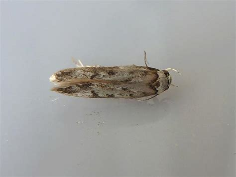 Endrosis Sarcitrella White Shouldered House Moth Images Tiny Moths All House