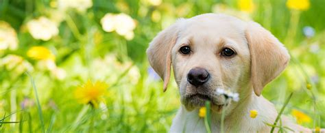 how much will my puppy weigh how much does your puppy weigh page 27 the labrador forum