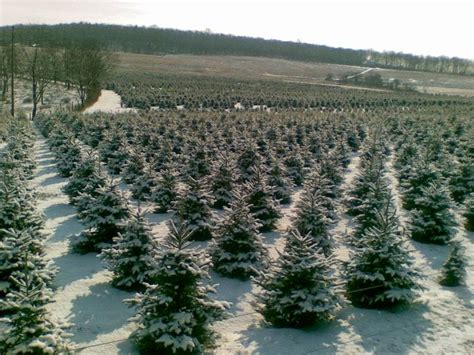 awesome picture of christmas tree farm in nj wyckoff s