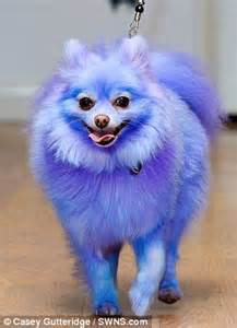 tuxedo pomeranian nervous pomeranian transforms into bundle of whenever dyed a bright colour