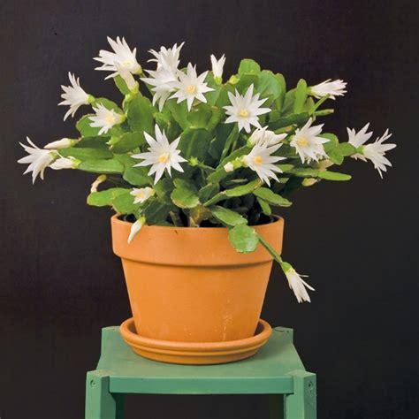 white easter cactus sirius pp rhipsalidopsis hybrid