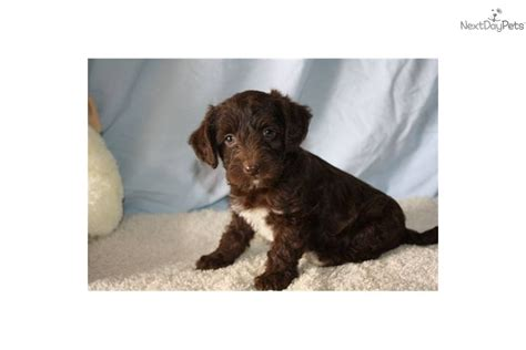 chocolate yorkie poo yorkiepoo yorkie poo puppy for sale near lancaster pennsylvania 1f702601 9991