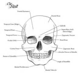 Skull Anatomy Labeled Parts sketch template
