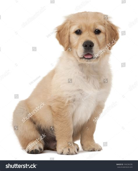 2 month golden retriever golden retriever puppy 2 months sitting against white background stock photo
