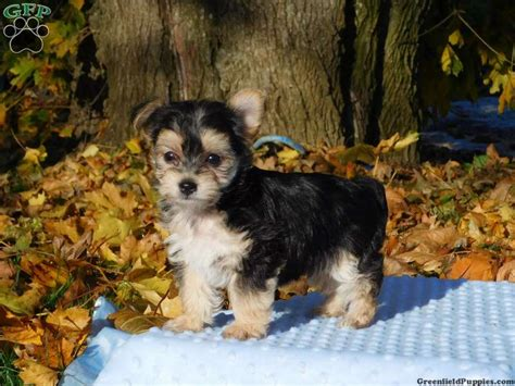 morkie puppies for sale in nj blue heeler puppies for sale in pa md ny nj greenfield puppies breeds picture