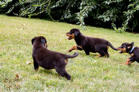 purebred rottweiler puppies for sale nj rottweiler puppies for sale carrabba haus rottweilers german rottweiler puppies