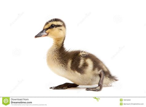 duck pictures baby duck mallard isolated on white stock photos image