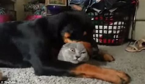 rottweiler and cats adorable cat can t get away from incredibly affectionate rottweiler