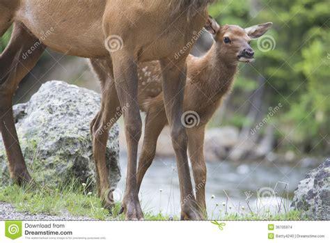 baby mule deer peeps around his stock images image