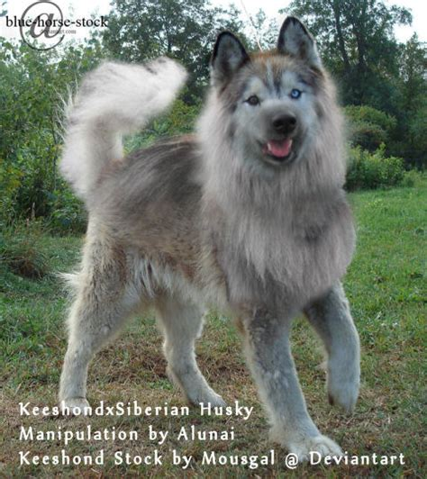keeshond pomeranian mix dogs bite decatur al stratford ct a 91 year stella antanaitis has died