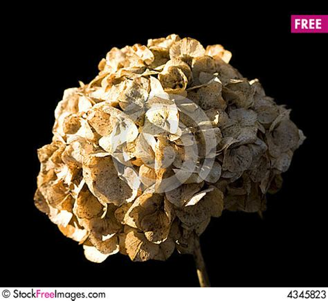 what to do with dead dead hydrangea free stock images photos 4345823