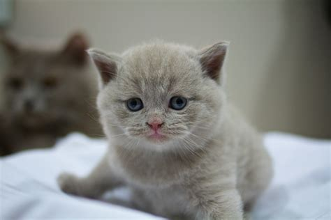 ?The tails of two kitties?  The British Shorthair and