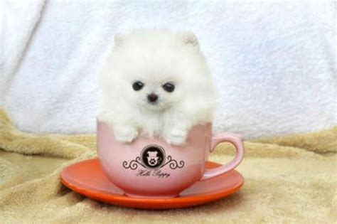 teacup pomeranian pics sweet teacup pomeranian puppies available for new homes offer
