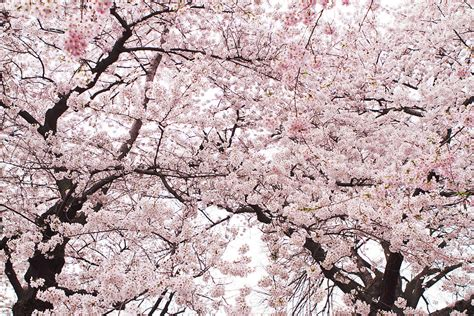cherry bloosom tree pink cherry blossom tree photograph by ariane moshayedi