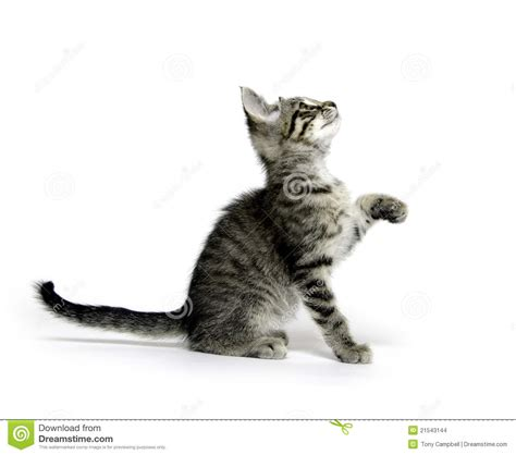 Tabby cat playing on white stock photo. Image of mammal
