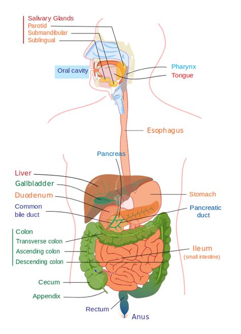 digestive system diagram file digestive system diagram edit svg
