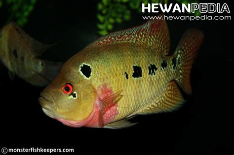 Pakan Larva Ikan Louhan panduan lengkap pemijahan dan pemeliharaan anakan ikan
