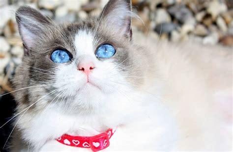 ragdoll que significa gato ragdoll cuidados comportamiento y caracter 237 sticas