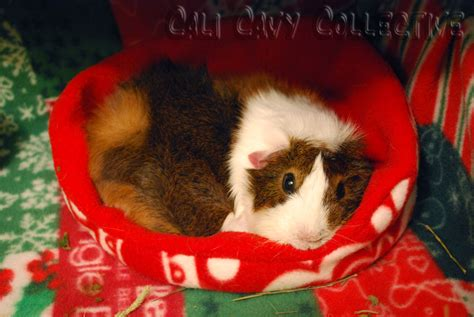 guinea pig bed cali cavy collective a blog about all things guinea pig