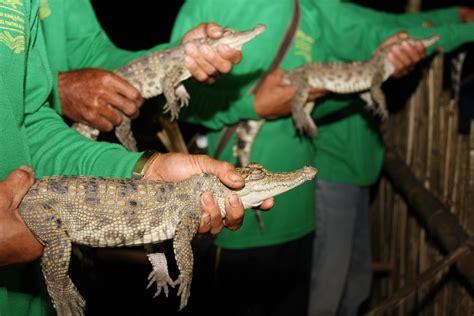 baby siamese crocs released  laos