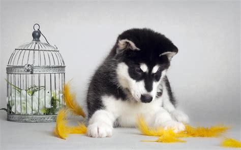 cutest husky puppy fluffy husky puppies in snow wallpaper