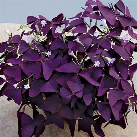 purple shamrock plant oxalis regnellii francis