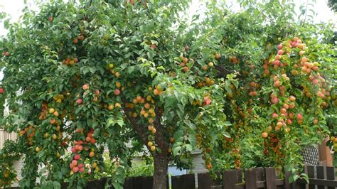 backyard fruit trees large backyard plum fruit tree growing garden fruit