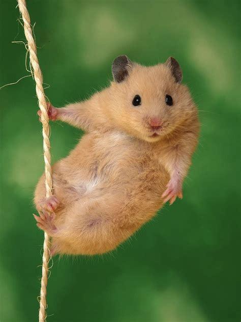 Makanan Hamster Golden Hamster jual rois aquarium