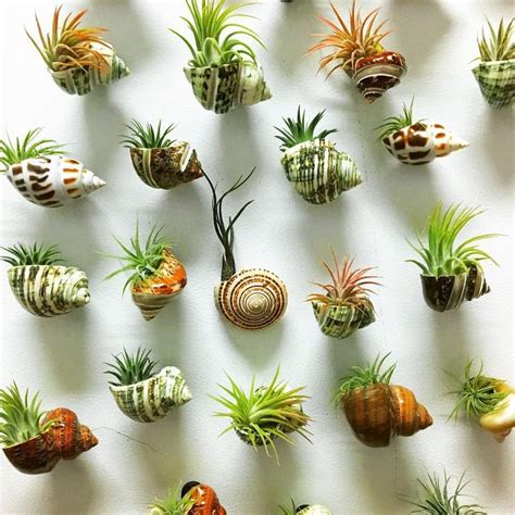 air plants best 25 air plants ideas on air plant display