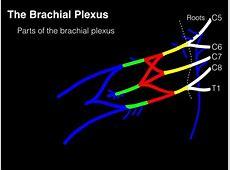 Drawing the Brachial Plexus - YouTube Brachial Plexus Drawing
