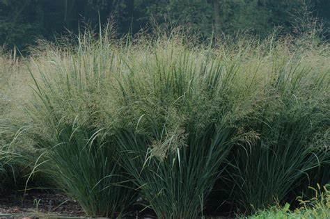 researchers survey how green grows your switchgrass
