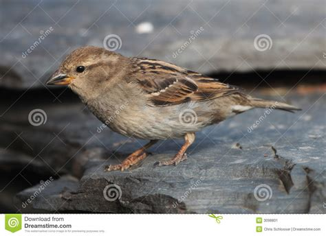 english house sparrow english house sparrow stock image image 3098801
