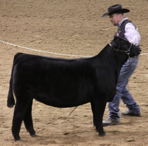 high voltage cattle company nwss open simmental the pulse