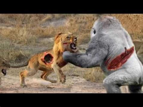 big baboon  lion leopard  gorilla crocodile kills baboon   bite youtube
