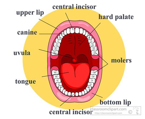 throat diagram labeled image gallery labeled