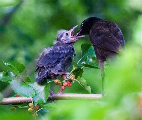 all the pages are my days mother bird feeding baby