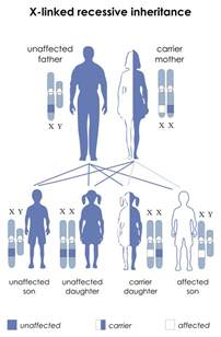 inheritance pattern of color blindness human physiology genetics and inheritance wikibooks