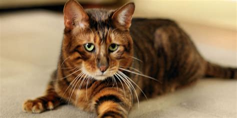 Image Gallery toyger colors