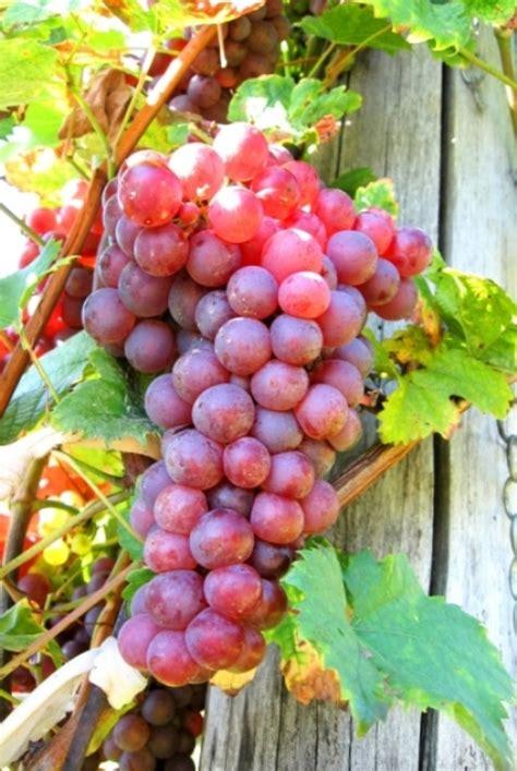Benihbijibibit Buah Markisa Merah Import jual biji benih buah anggur merah import di lapak gardajita garden gardajita
