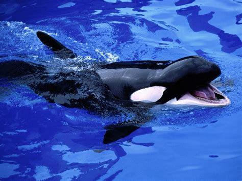 World S Whale Retailer Ends All Whale - orca glossy poster picture photo killer whale shamu