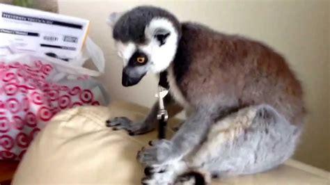 pet r my pet lemur