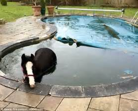 Backyard Rescue Pools Horses Stuck In A Swimming Pool And A Canal Pictured