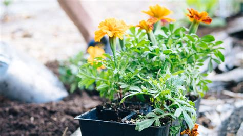 heat tolerant crops heat tolerant plants that resist the sun and heat
